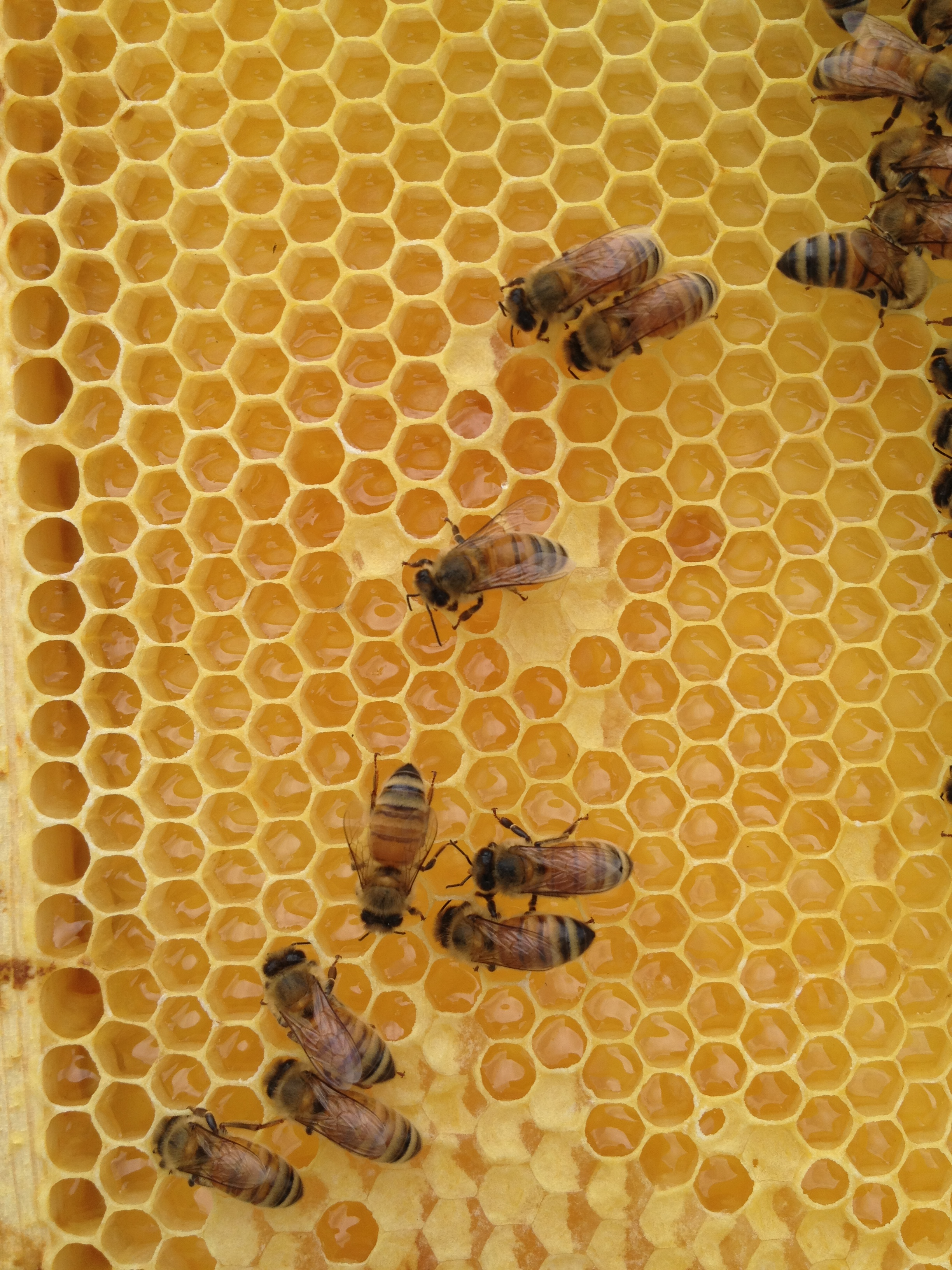Closeup of a honey frame